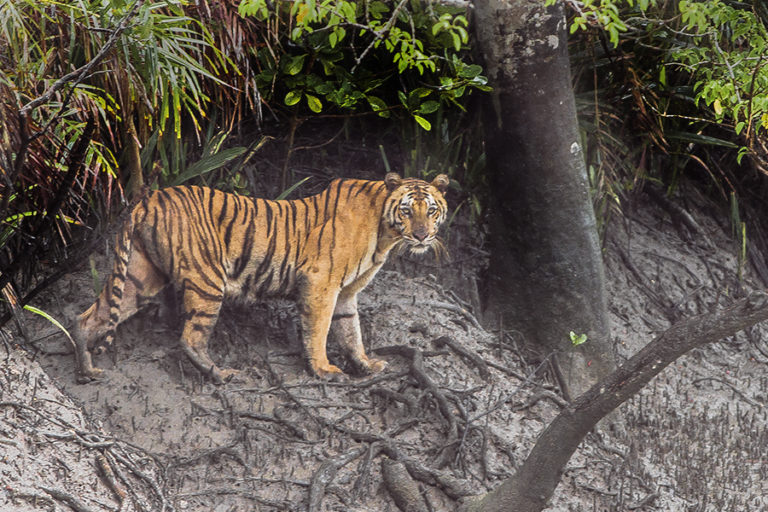 The Sundarbans is home to the endangered Bengal tiger. Photo by Dibyendu Ash. Source: Wikimedia Commons, licensed under CC BY-SA 3.0.
