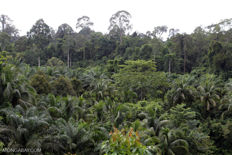 An oil palm plantation abuts rainforest in Malaysia. Photo by Rhett A. Butler