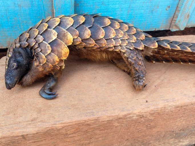 All eight species of pangolin living in Africa and Southeast Asia are threatened by hunting for their meat. Photo by John C. Cannon