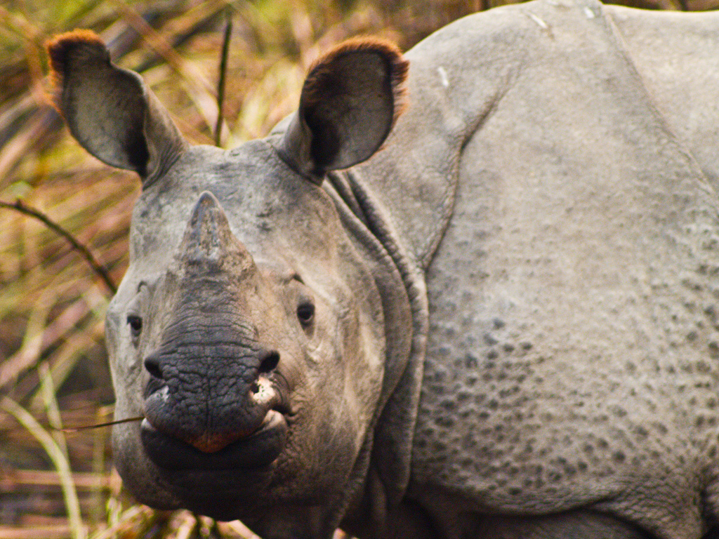Kaziranga's rhino population is increasing, despite the ever present threat of poaching. Photo by Subharban Majumdar/Flickr