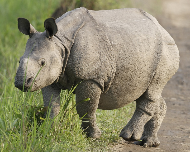 Rhino calf in Assam state's Kaziranga National Park. Photo by Lip Kee/Flickr.