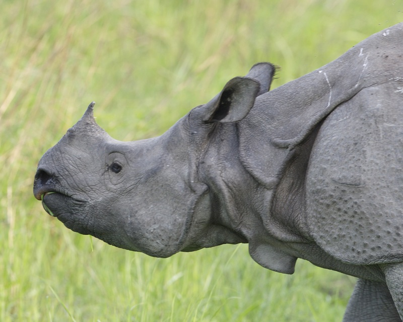 Greater one-horned rhino in Kaziranga Park. Photo By Lip Kee/Flickr