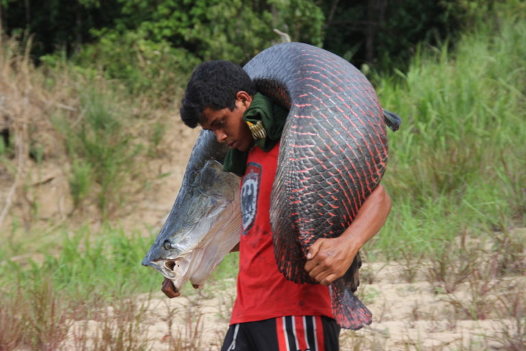 Arapaima can grow to 200 kilograms (440 pounds), and it is an important source of protein and income in the Amazon. Photo courtesy of Carlos Peres
