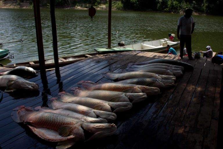 A community harvests arapaima, the largest scaled freshwater fish in the world. Photo courtesy of Carlos Peres