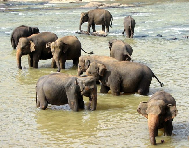 Asian elephants do not seem to have clear matriarch-led families. Photo by Bernard Gagnon, licensed under CC BY-SA 3.0.
