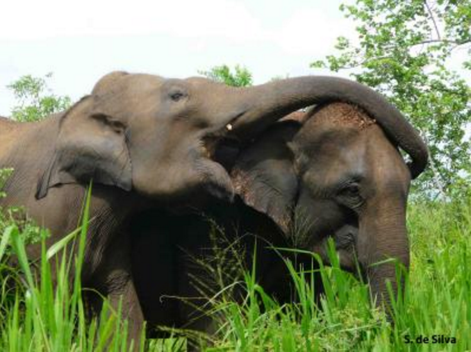 An adult female Asian elephant asserts dominance over another by putting her trunk over her. Photo courtesy of Uda Walawe Elephant Research Project.