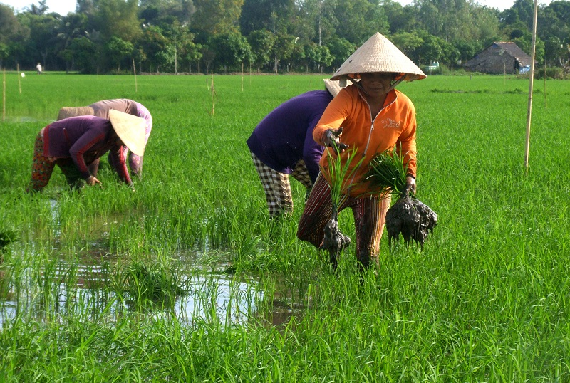 Farmers transplant rice seedlings in the Mekong Delta. Photo by Dinh Tuyen/Thanh Nien Daily News