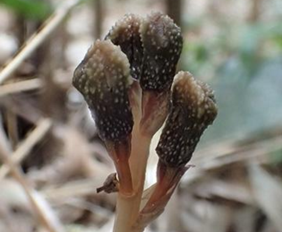 New orchid - Gastrodia kuroshimensis - discovered on Kuroshima island in Japan. Photo by Kenji Suetsugu.