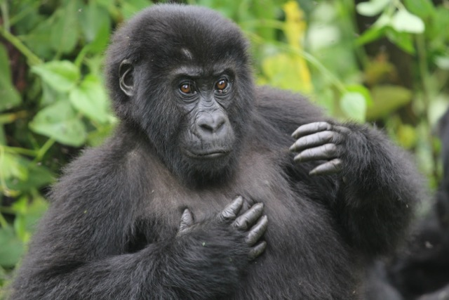 gorilla behavior essay The gorilla, one of the four great apes, is the planet's largest primate they are found in the cloud and rain forests of central africa biologists recognize two species, the eastern gorilla and the western gorilla, each of which has two subspecies.