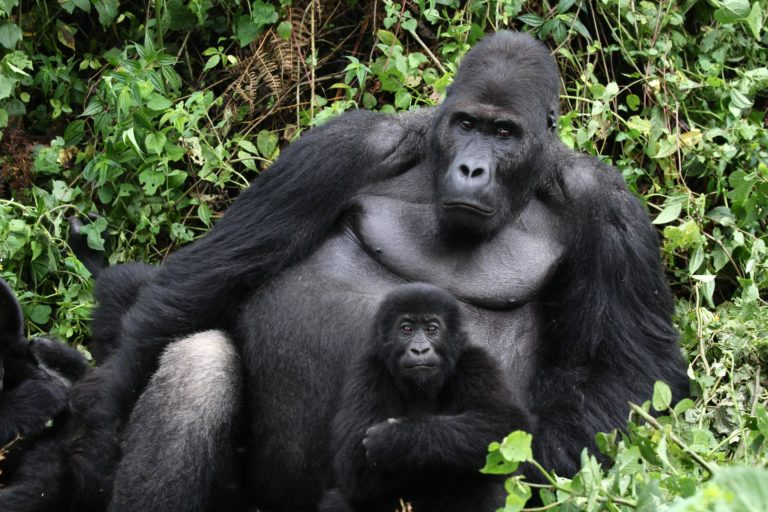 "Silverback Grauer's gorilla ""Chimanuka"" from Kahuzi-Biega National Park was the first animal monitored using Animal Observer. Photo credit: The Dian Fossey Gorilla Fund International"