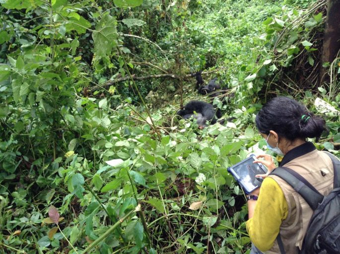 Fossey Fund researcher Neetha Iyer collects social behavior data on critically endangered Grauer's gorillas. Photo credit: The Dian Fossey Gorilla Fund International
