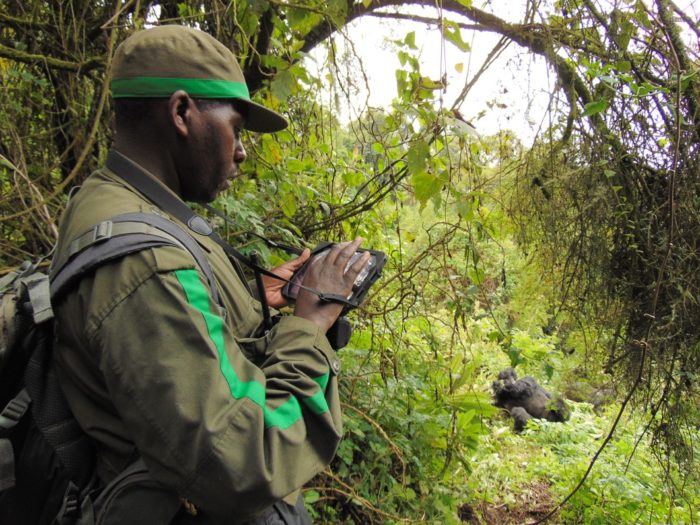 After almost 40 years collecting behavioral data using pencils and notebooks, data technicians from the Karisoke Research Center now use Animal Observer to study mountain gorillas. Photo credit: The Dian Fossey Gorilla Fund International