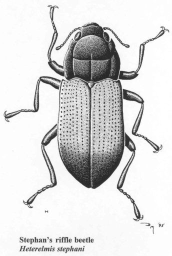 The Stephan's riffle beetle has not been collected or documented since 1993. Illustration courtesy USFWS.