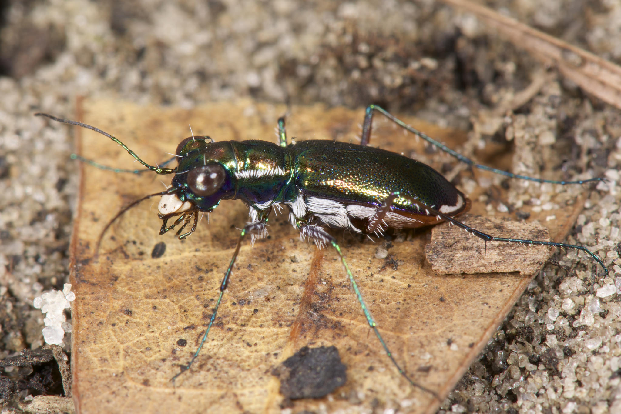 The Miami tiger beetle was recently listed for protection under the ESA. Photo by Jonathan Mays, Florida Fish and Wildlife Conservation Commission.