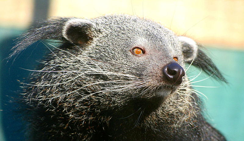 The binturong's future — like small and medium sized mammals across Asia — due to vanishing forest habitat. Photo by Keven Law licensed under the Creative Commons Attribution-Share Alike 2.0 Generic license
