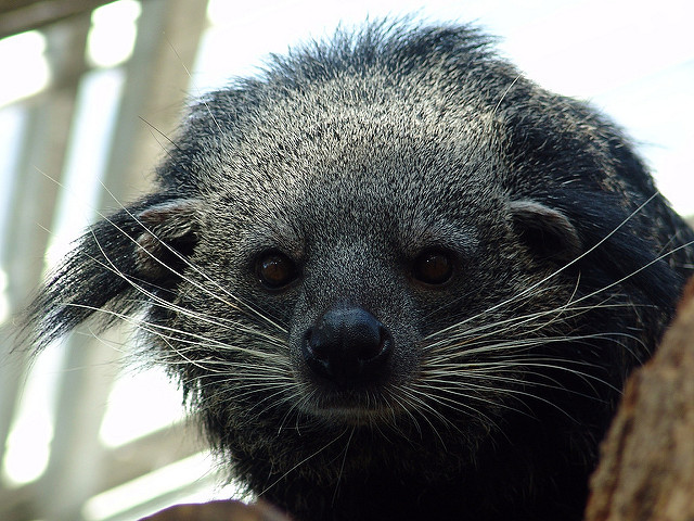 Ear tufts and whiskers make the binturong look adorable, but the animals are known for their fiercenss. Photo by Joachim S. Muller on flickr