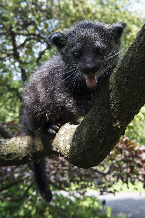 The binturong is losing its Asian forest habitat, and is hunted for the pet trade and as meat. Photo courtesy of Zooborns