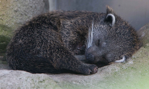 A baby binturong. Photo posted on flickr