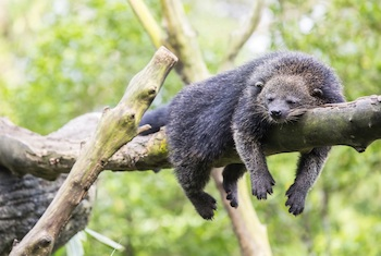 The binturong has been listed as Vulnerable by the IUCN. Photo by Keven Law licensed under the Creative Commons Attribution-Share Alike 2.0 Generic license