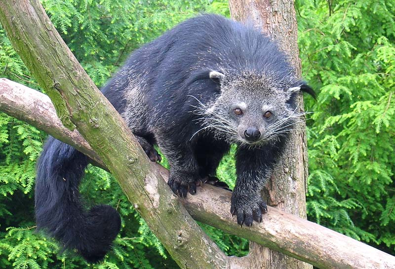 The bearcat is a tree-dwelling mammal with a prehensile tail. Photo by Tassilo Rau licensed under the Creative Commons Attribution-Share Alike 3.0 Unported license