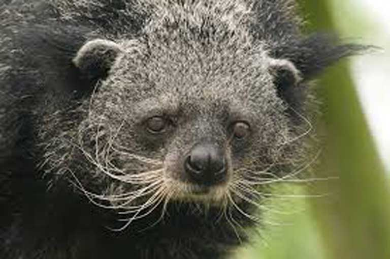 A binturong has long white whiskers, like those of a cat. But even though female binturongs purr to attract mates, the species is not related to modern cat species. Photo by ucumari, via Flickr, distributed under a CC BY-NC-ND 2.0 license