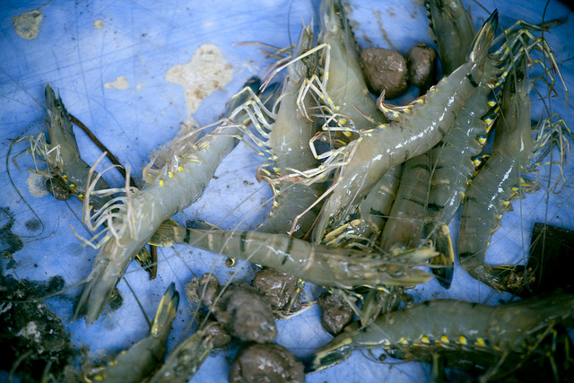 Shrimp from the Mekong Delta region. Photo by Lam Thuy Vo
