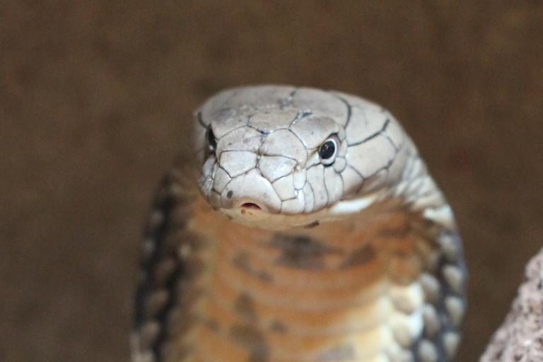 Cobra. Photo by Rhett A. Butler