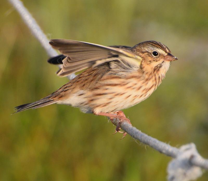 Ispwich sparrow. Photo courtesy of Bill Barton.