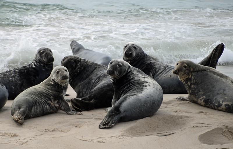 Grey seals at shoreline. Photo courtesy of Bill Barton.