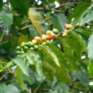 Coffea Arabica plant. Photo by Forest and Kim Star/Wikimedia Commons