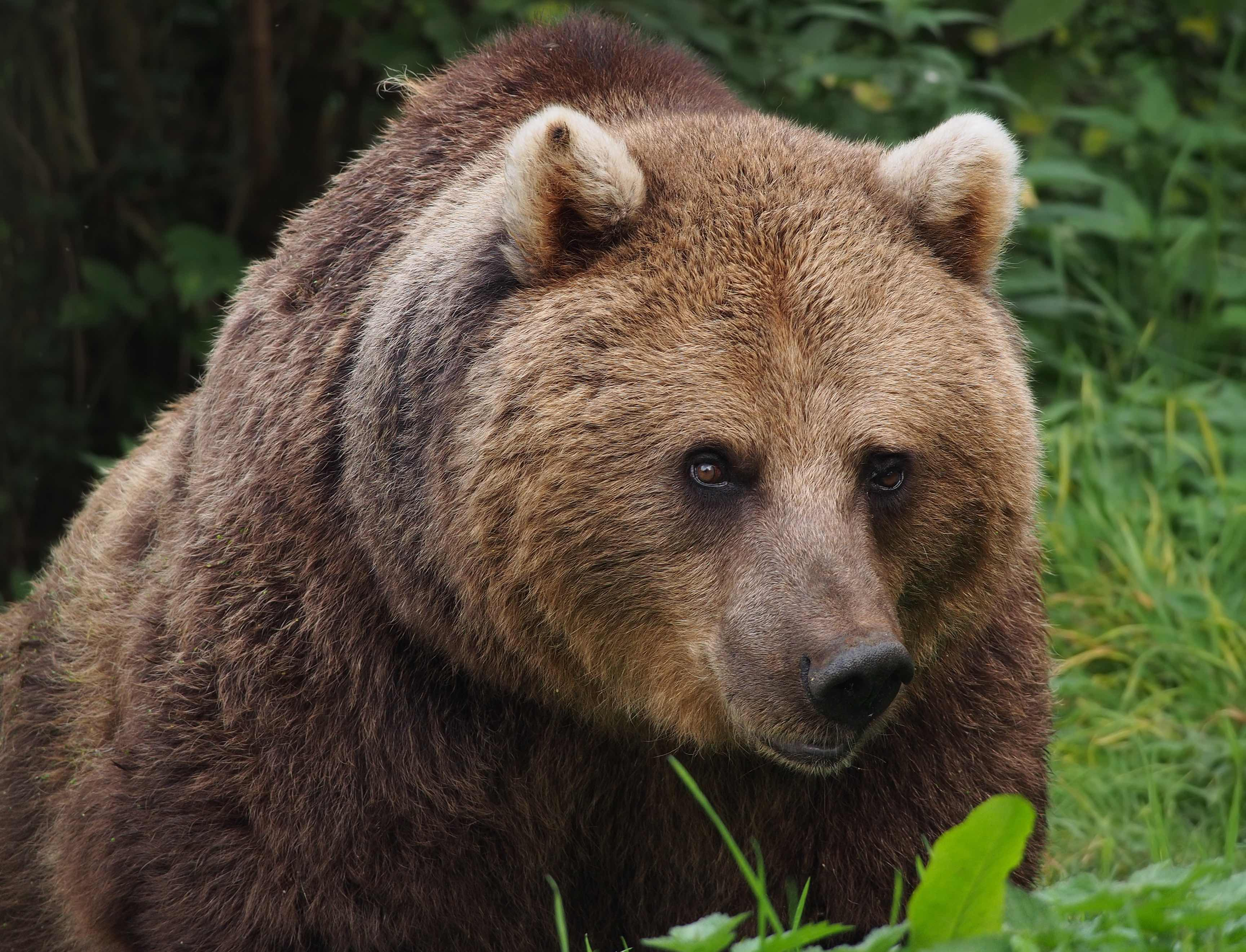 Brown bears frequently come into conflict with people in Romania. Photo by Francis C. Franklin, licensed under CC-BY-SA-3.0.