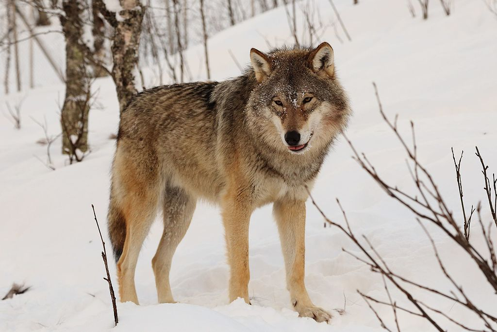 This year's hunting quota would have allowed hunters to kill 657 wolves. Photo by Mas3cf, licensed under CC BY-SA 4.0.