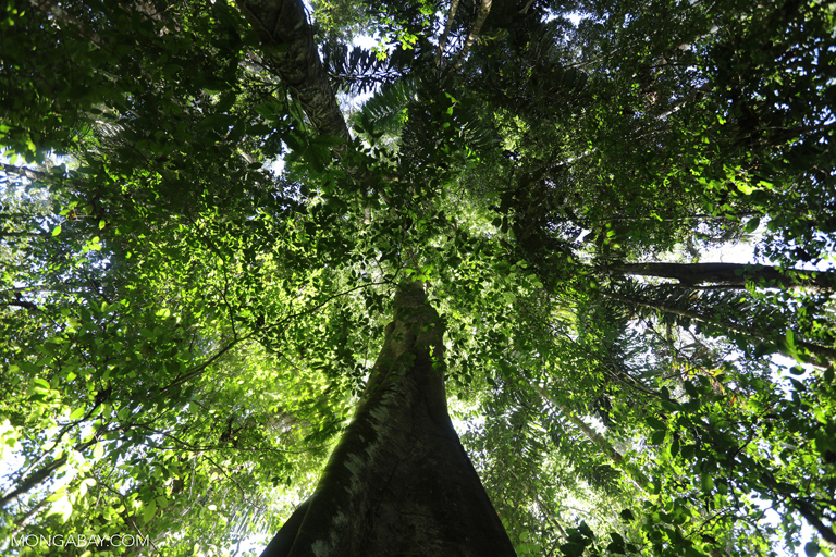 Rainforest trees serve as excellent carbon sinks, but in the last three years deforestation in the Brazilian Amazon has been on the increase. Photo by Rhett A. Butler