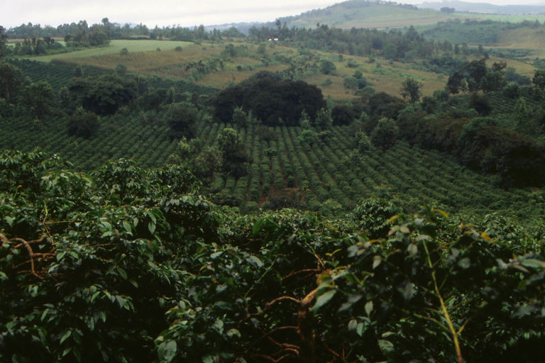 A coffee plantation in Tanzania. Photo courtesy of Wikimedia Commons
