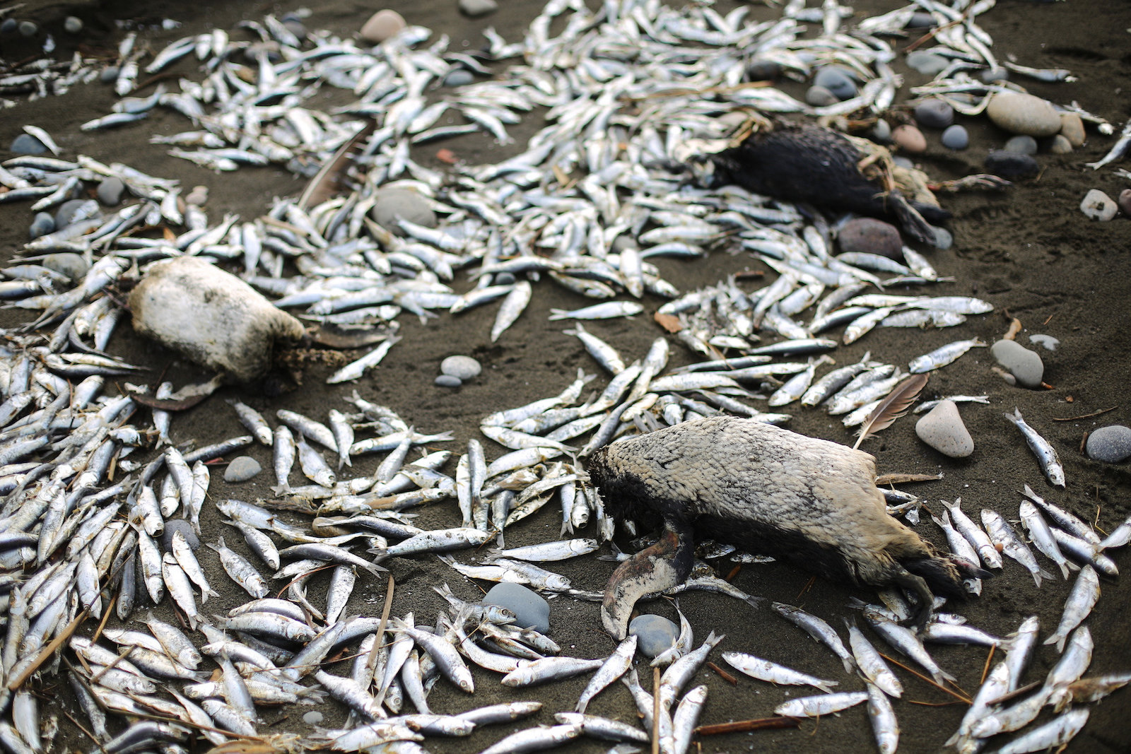 Dead penguins and salmon on the beach of Chiloé Island. Photo: Andrés Pérez for R35R.