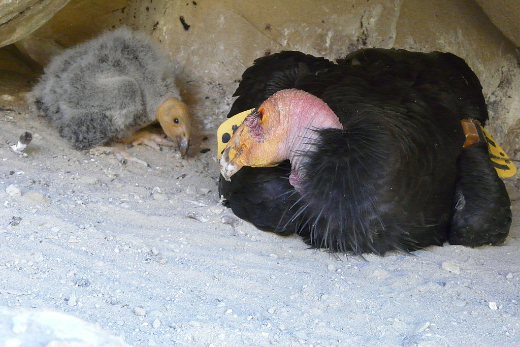 An adult California Condor with its 30-day old chick in a nest near Hopper Mountain National Wildlife Refuge in California. The number of chicks that have fledged in the wild aren't anywhere close to making up for the number of condors that have died or been permanently removed from the wild, according to research led by scientists at the University of California at Santa Cruz. Photo by Joseph Brandt, Pacific Southwest Region U.S. Fish and Wildlife Service