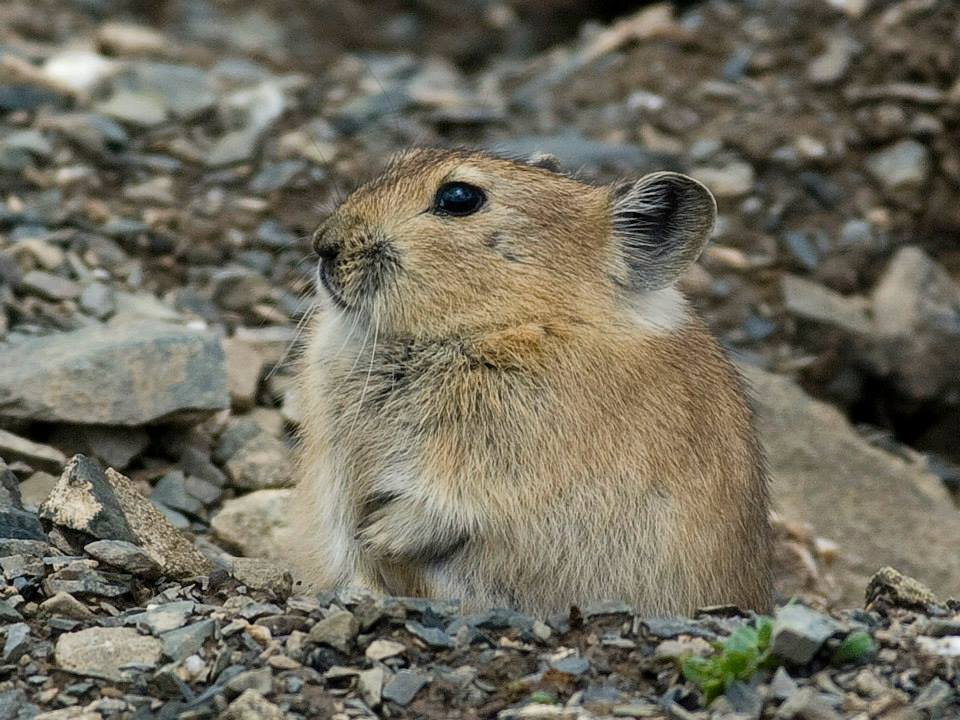 The new species, Sikkim pika, is also genetically distinct from its sister species, the Plateau pika (O. curzoniae) that occurs in the Tibetan plateau. Photo by Andrey Lissovsky.