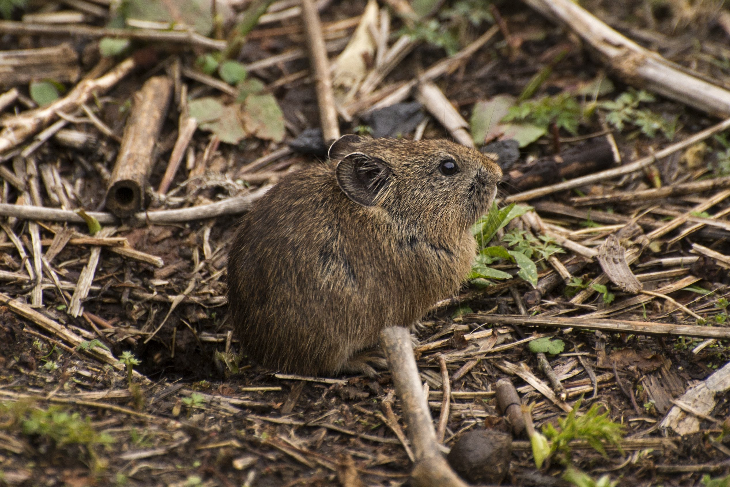 The new species — named Sikkim pika or Ochotona sikimeria — was previously classified as a sub-species of the Moupin pika or Ochotona thibetana. Photo by Prasenjeet Yadav