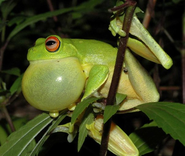 red-eyed-tree-frog_calling__froggydarb-wikipedia