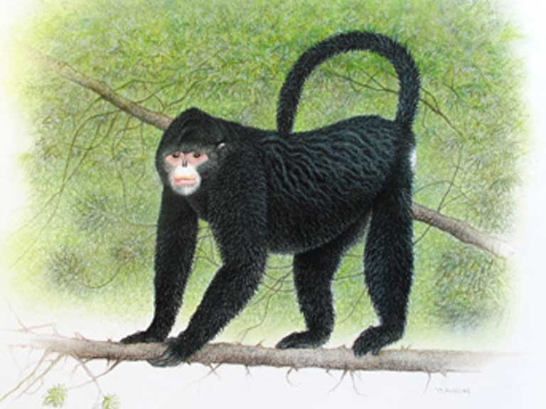 A quality photo of the Myanmar snub-nosed monkey has yet to be taken, with most being blurred shots taken at a considerable distance. Sketch by Martin Aveling/Fauna & Flora International.