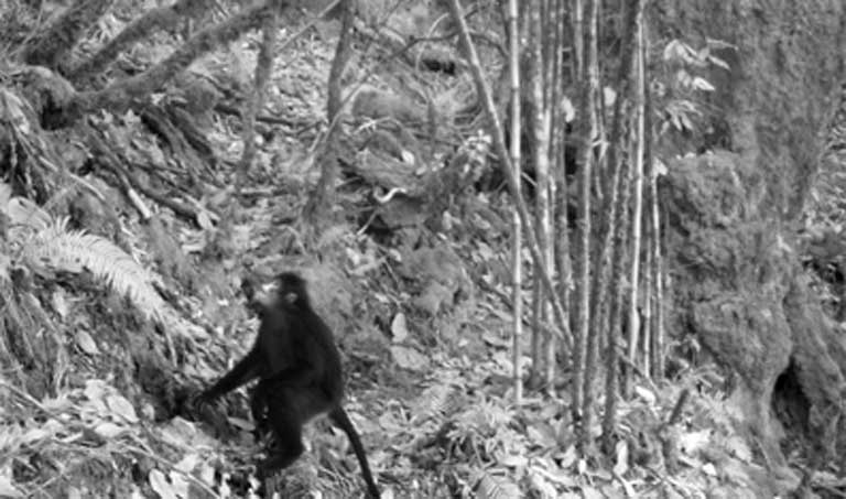 A camera trap catches a glimpse of a Myanmar snub-nosed monkey. Photo courtesy of FFI/Banca/PRCF
