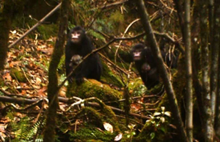 Though discovered by scientists in 2010, researchers have yet to get a clear image of the Myanmar snub-nosed monkey due to its inaccessible high mountain forest canopy habitat. Photo courtesy of FFI, BANCA & PRC