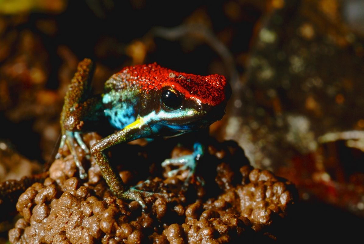An Ecuador Poison Frog (Ameerega bilinguis) sits a top of a worm casting. A diurnal species, they can be seen hunting during the day hopping around the forest floor. - Sani Isla Comminity, Yasuni Biosphere, Ecuador. ©Ryan P. Killackey/Pollywog Productions