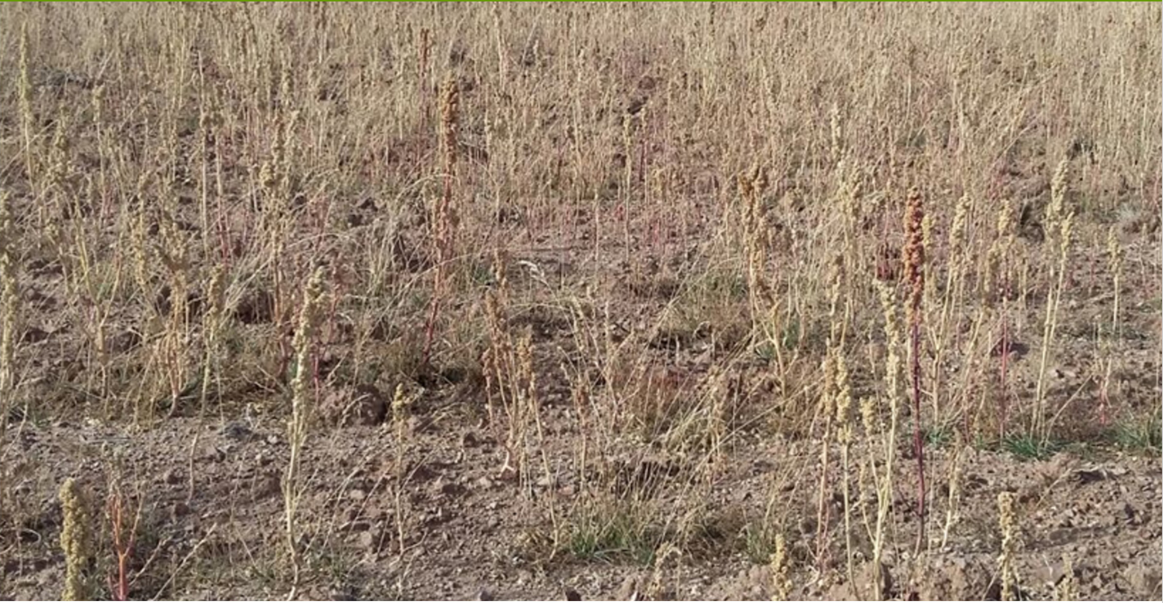 quinoa-crops-affected-by-drought-and-frost-in-oruro-department