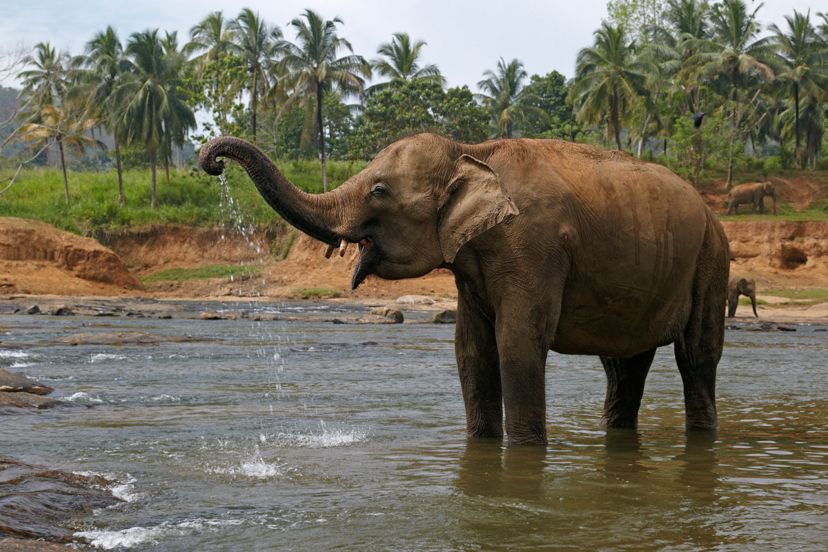 Indian elephant (Elephas maximus) from Pinnawala Orphanage, Sri Lanka. Photo courtesy of WCFF