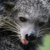 The binturong or bearcat (Arctictis binturong). Photographed in Cambodia by Rhett A. Butler for Mongabay.