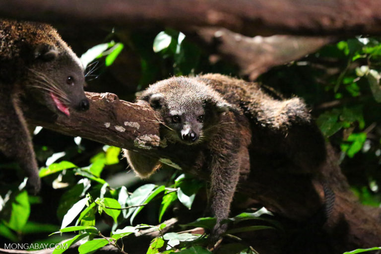 A binturong has long white whiskers, like those of a cat. But even though female binturongs purr to attract mates, the species is not related to modern cat species. Photo by Rhett A. Butler for Mongabay