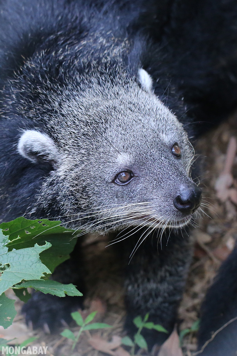 The binturong has been listed as Vulnerable by the IUCN. While threatened in the wild, it has become a popular animal at zoos around the world. Photo taken in Vietnam by Rhett A. Butler.