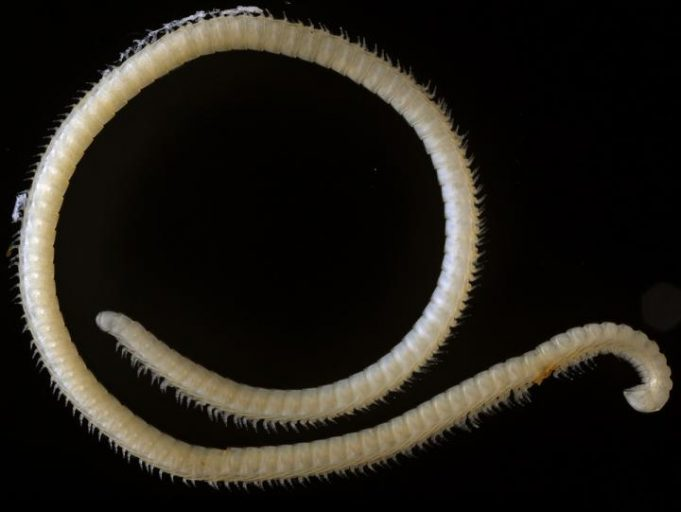 The new species (Illacme tobini) of extremely leggy millipede from a Sequoia National Park cave. Photo by Paul Marek, Virginia Tech.