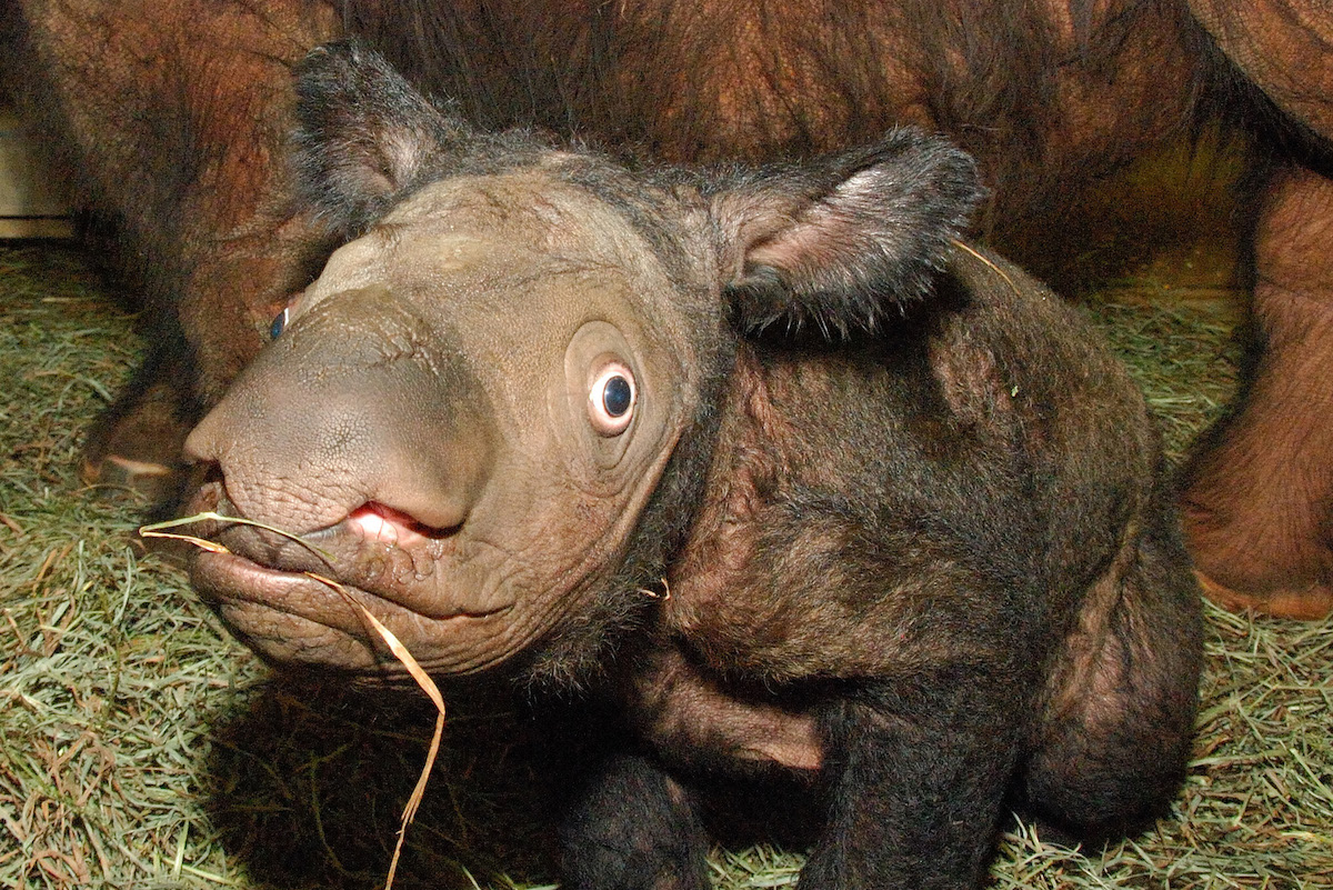 A baby Sumatran rhino display's the species' characteristic shaggy fur | mongabay.com